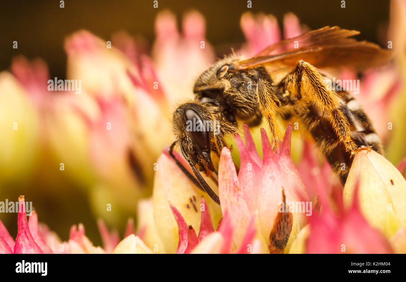 Sweat Bee, Lasioglossum - Stock Image