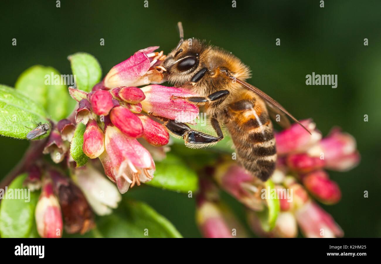 Western Honeybee, Apis Mellifera Stock Photo