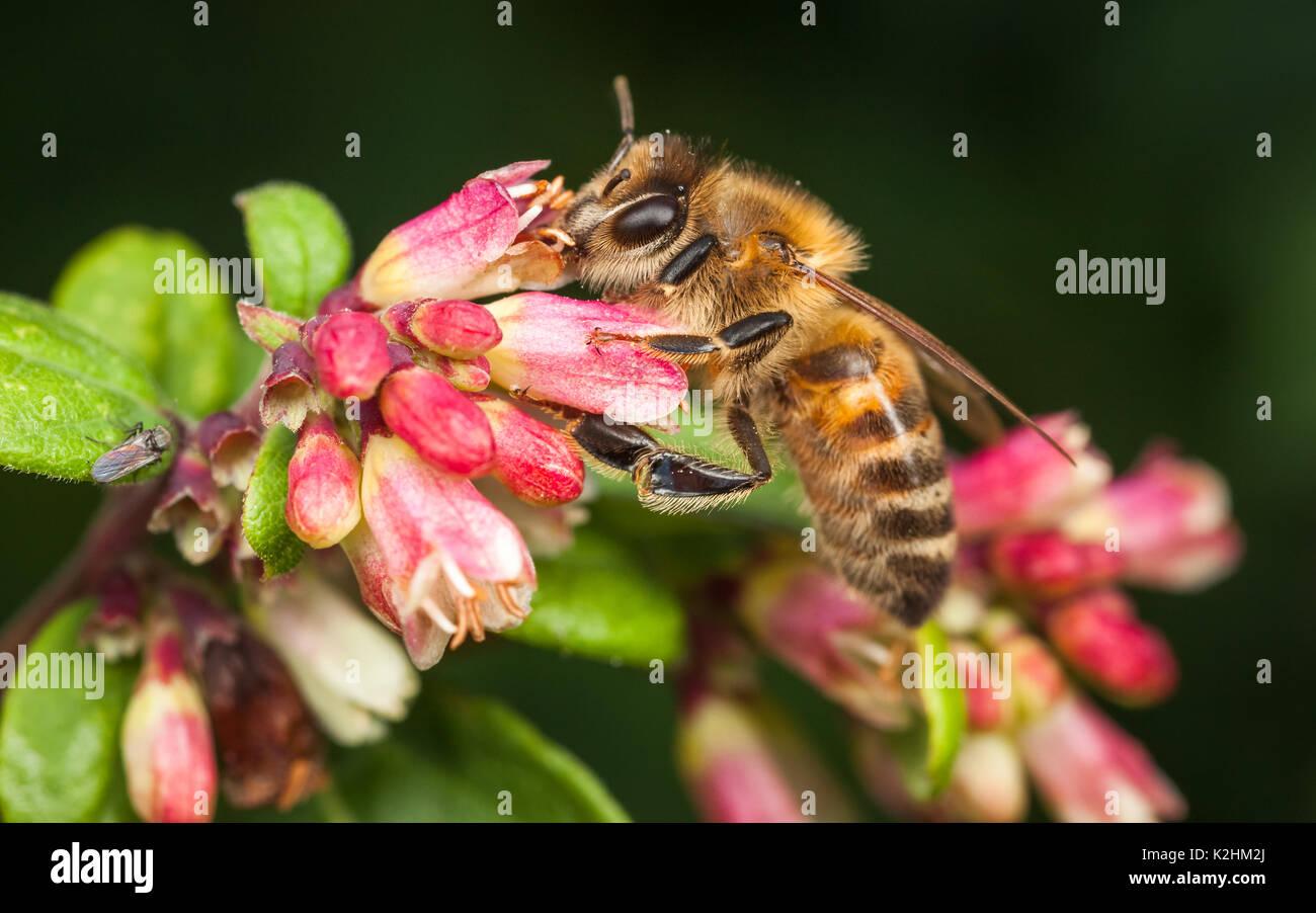 Western Honeybee, Apis Mellifera - Stock Image