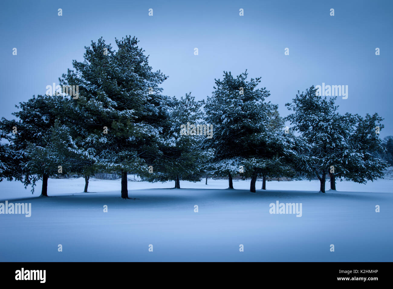 Evening Fresh snow fall on evergreen trees - Stock Image