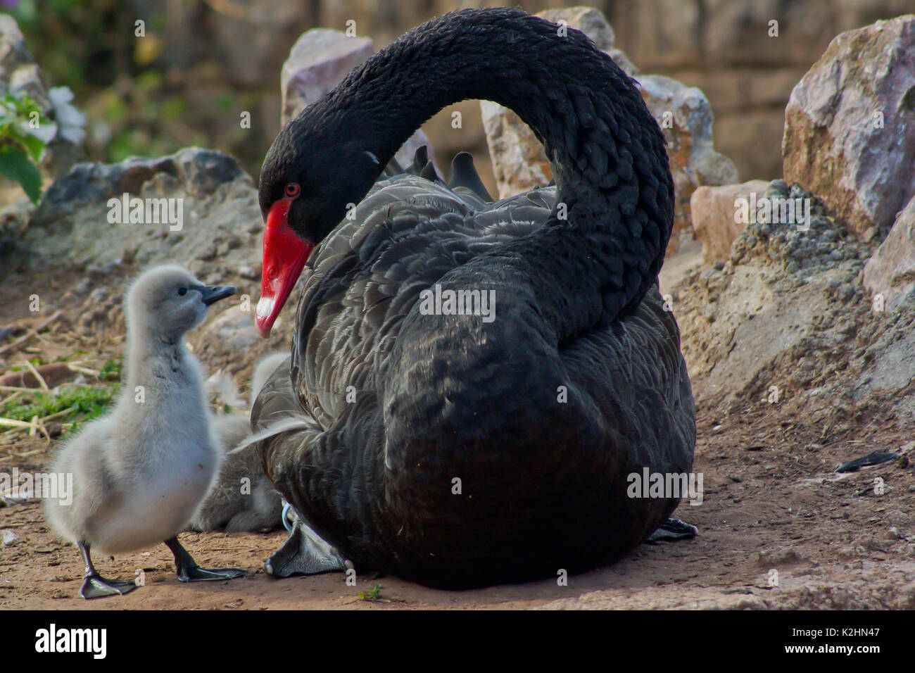 A black swan with her cygnets - Stock Image