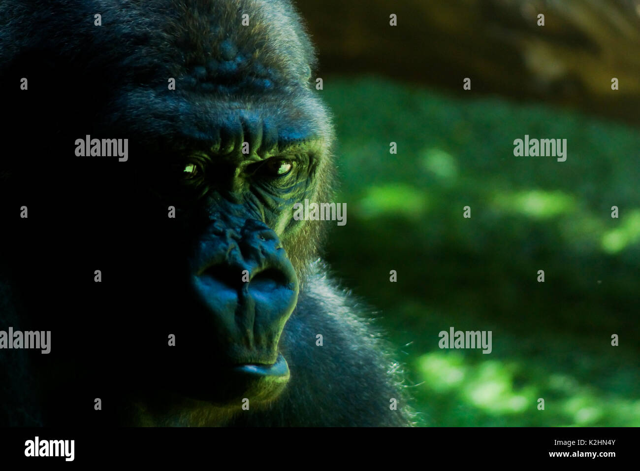 A gorilla displaying a sombre stare in Tenerife - Stock Image