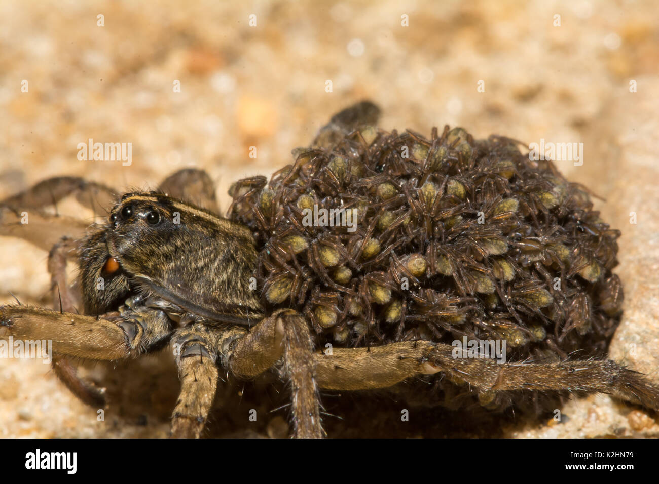 A close up of a female Wolf Spider with her young on her abdomen. - Stock Image