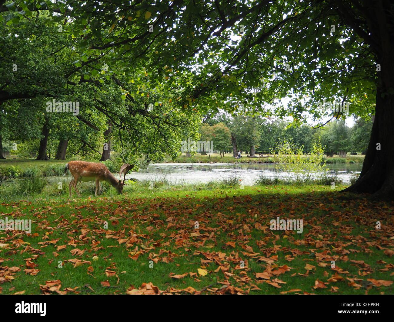 Grazing deer by a lake at Dunham Massey deer park - Stock Image