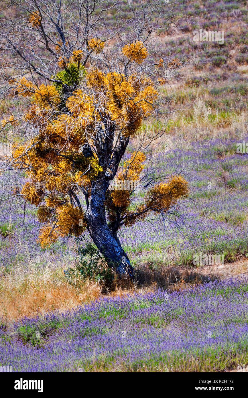 Lavender fields ((Lavandula), near Sault, Provence. - Stock Image