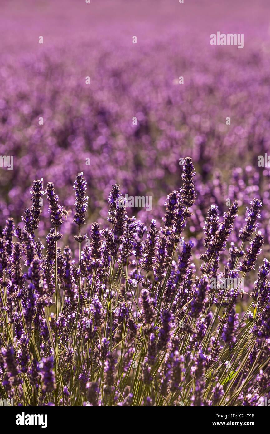 Lavender fields ((Lavandula), near Sault, Provence. Stock Photo