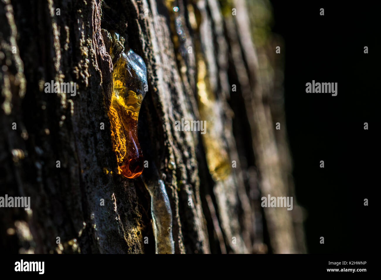 Tree sap oozing out of a trunk, with the back light lighting up the orange tree sap drop. - Stock Image