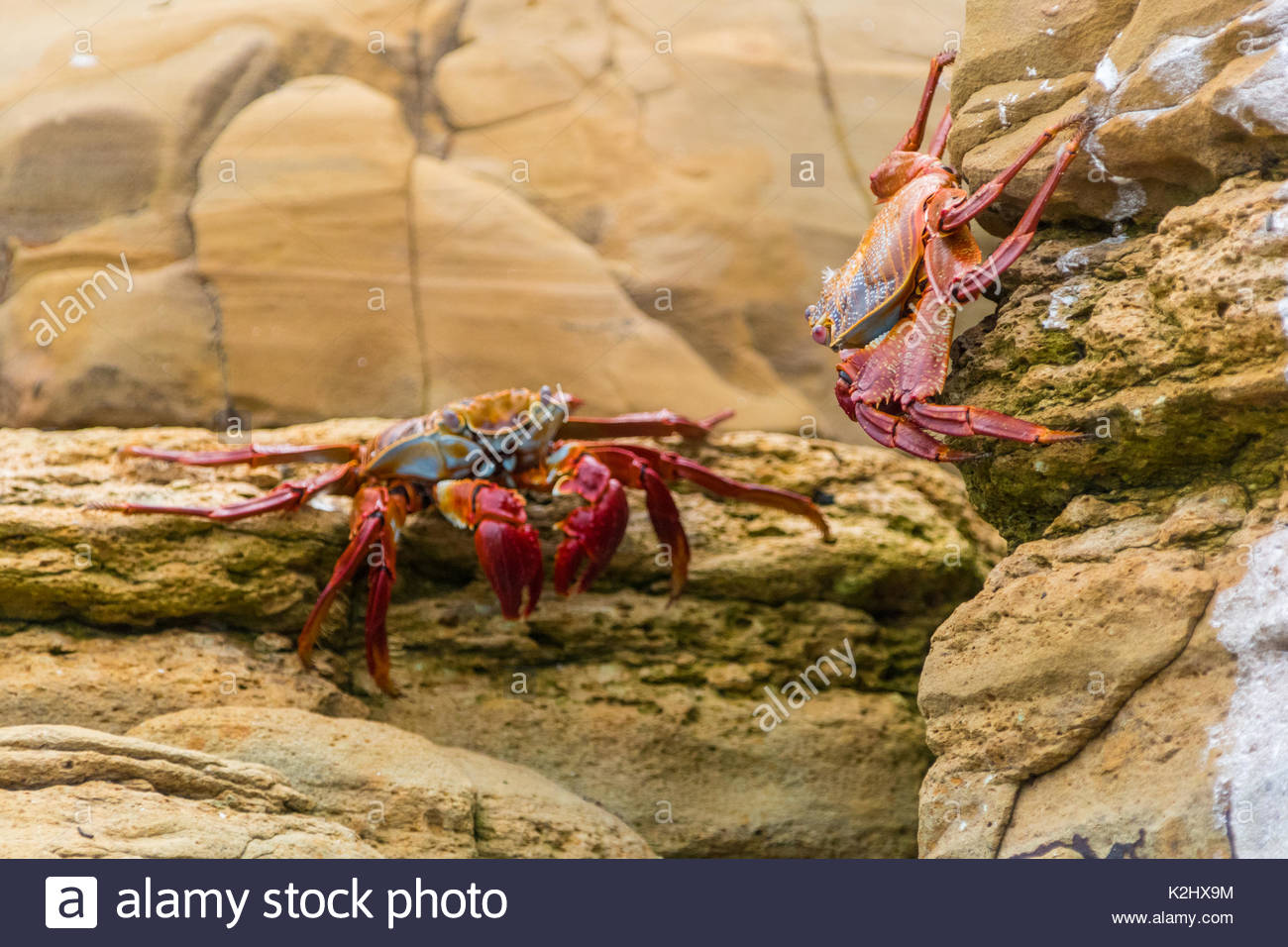A pair of Sally Lightfoot, Grapsus grapsus, crabs pose along the rocks of the Pearl Islands in Panama - Stock Image