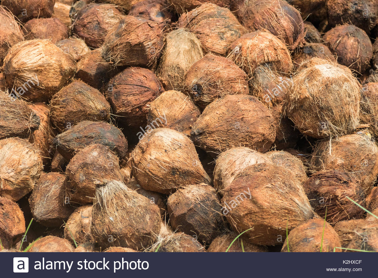 Coconuts with their husks chopped off - Stock Image