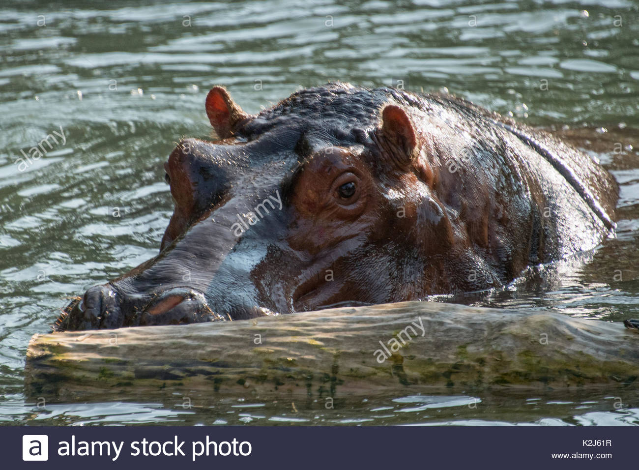 The common hippopotamus swimming in the water of a pond.  The Hippopotamus amphibius, or hippo, is a large, mostly herbivorous and aggressive mammal - Stock Image
