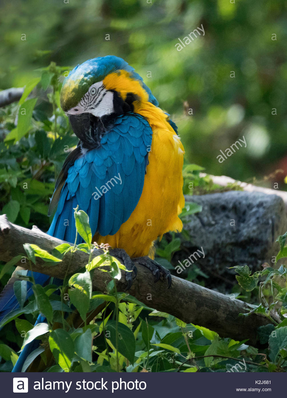 The macaw, or New World parrot with vibrant blue and yellow colour on its feathers. The  Neotropical parrot bird is amid a green vegetation. - Stock Image