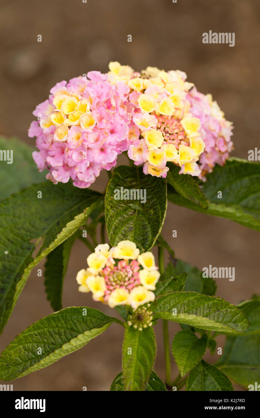 Yellow fading to Lavender flowers in the heads of the tender summer bedding plant, Lantana camara 'Lucky Lavender' - Stock Image