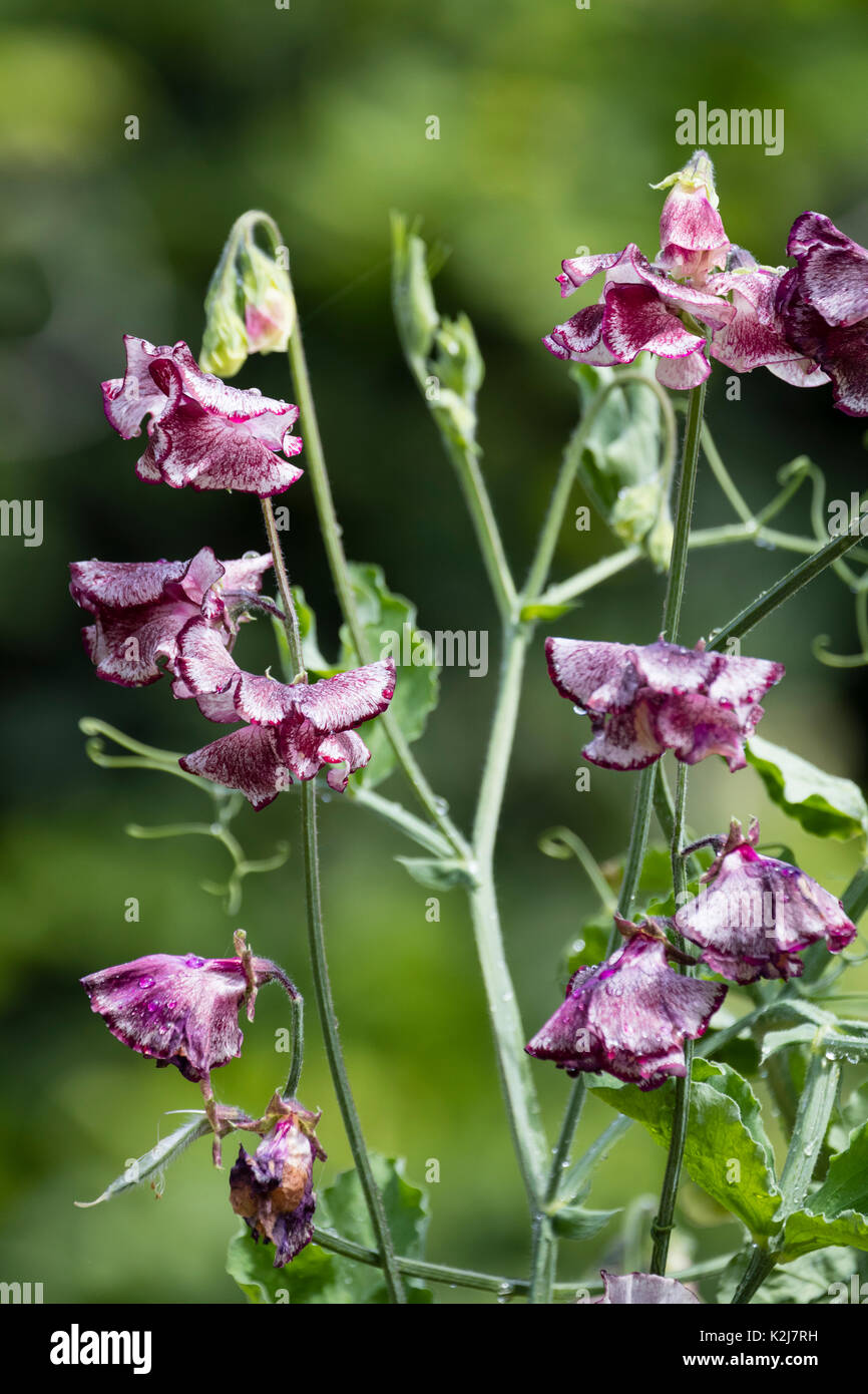 Ornamental burgubdy mottle white flowers of the anual climbing sweet pea, Lathyrus odoratus 'Lisa Marie' - Stock Image
