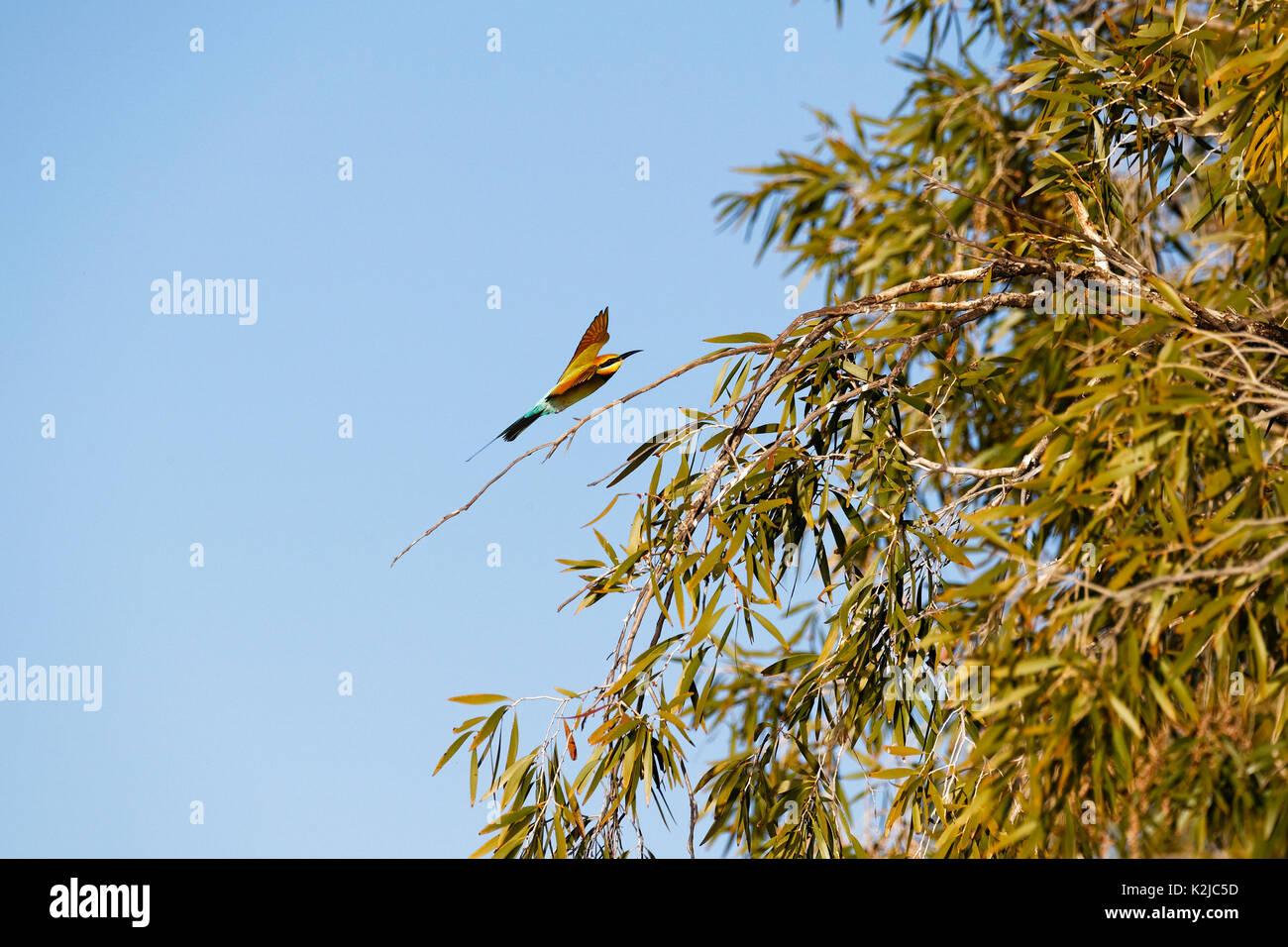 Rainbow bee-eater  (Merops ornatus), flying, Gascoyne, Western Australia - Stock Image