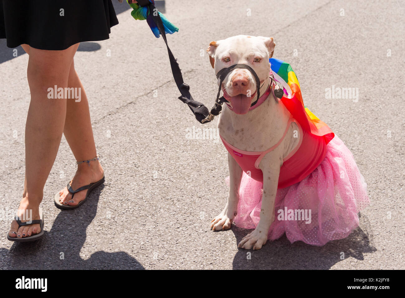 Pit bull terrier dog with a gay rainbow flag on its back and a pink skirt at Montreal Pride Parade - Stock Image