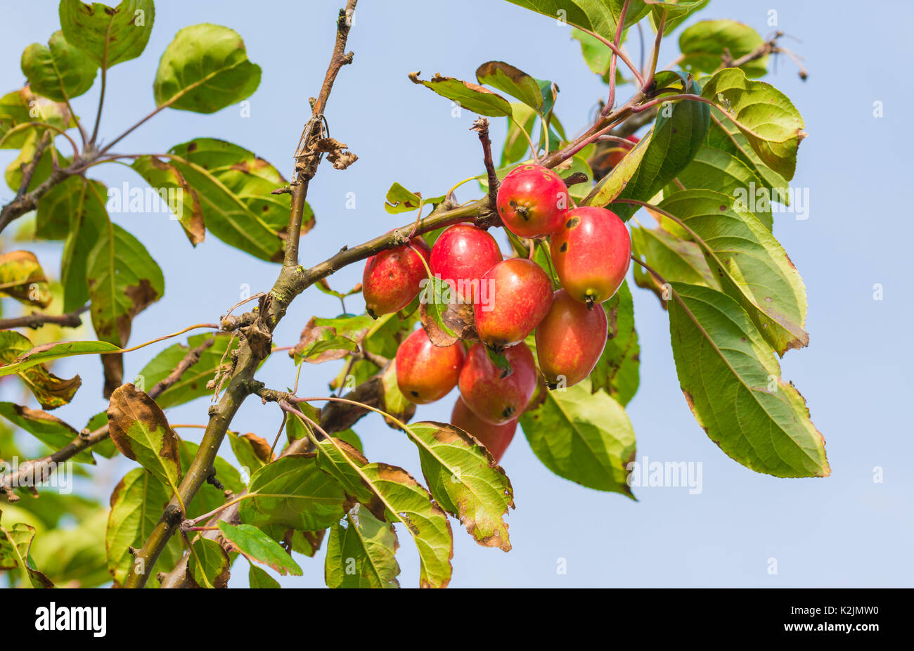 Crab Apple tree in late Summer with red fruit growing. Crabapple tree in the UK. - Stock Image