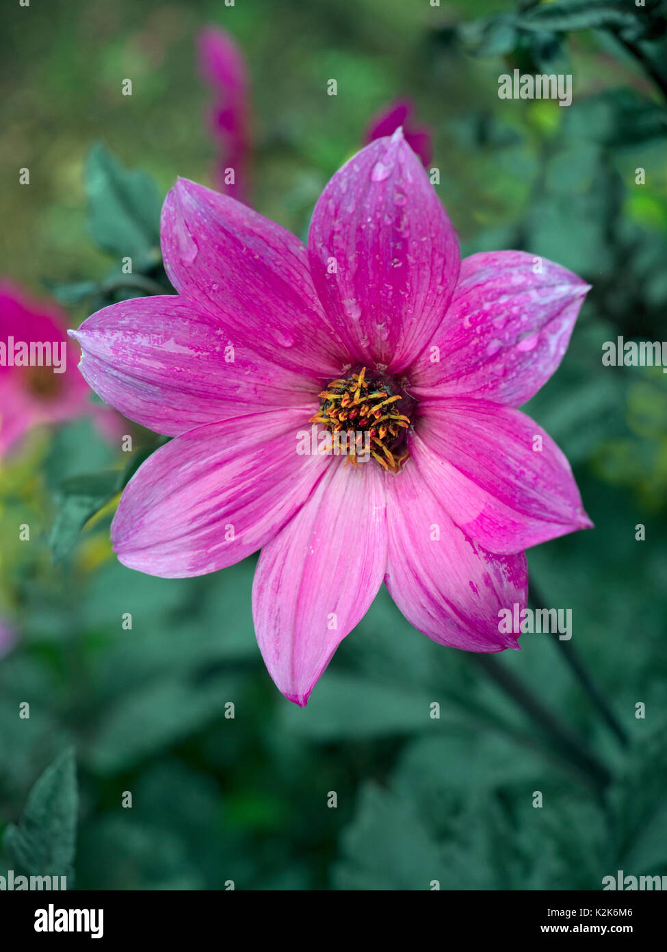 Dahlia Magenta star in garden border - Stock Image