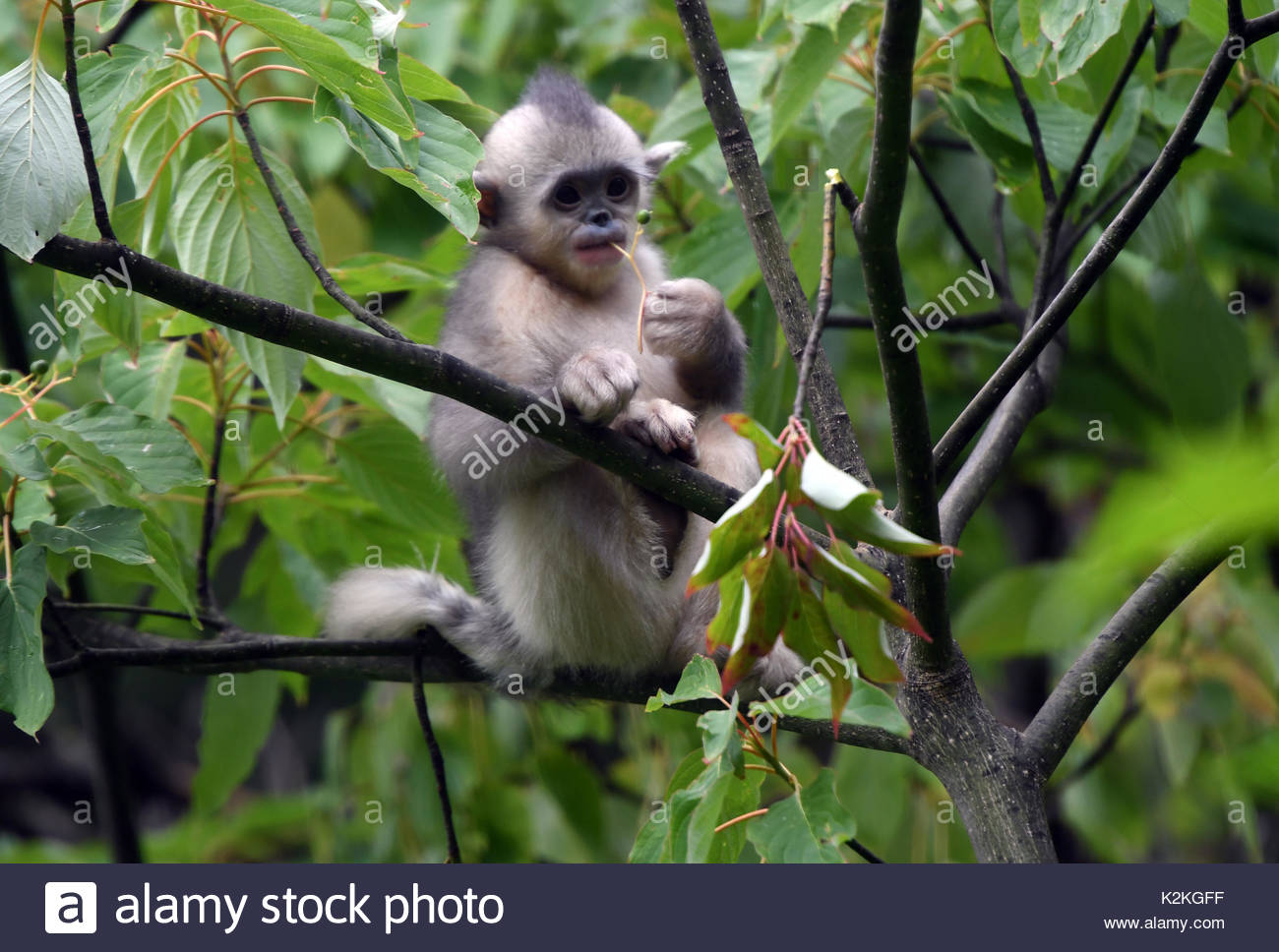 China. 27th Aug, 2017. A snub-nosed monkey rests in a tree at Snub-nosed Monkey National Park in southwest China's Yunnan Province, on August 27, 2017. Covering an area of 125 square kilometers, the national park now has more than 60 rare snub-nosed monkeys. Credit: TopPhoto/Alamy Live News - Stock Image