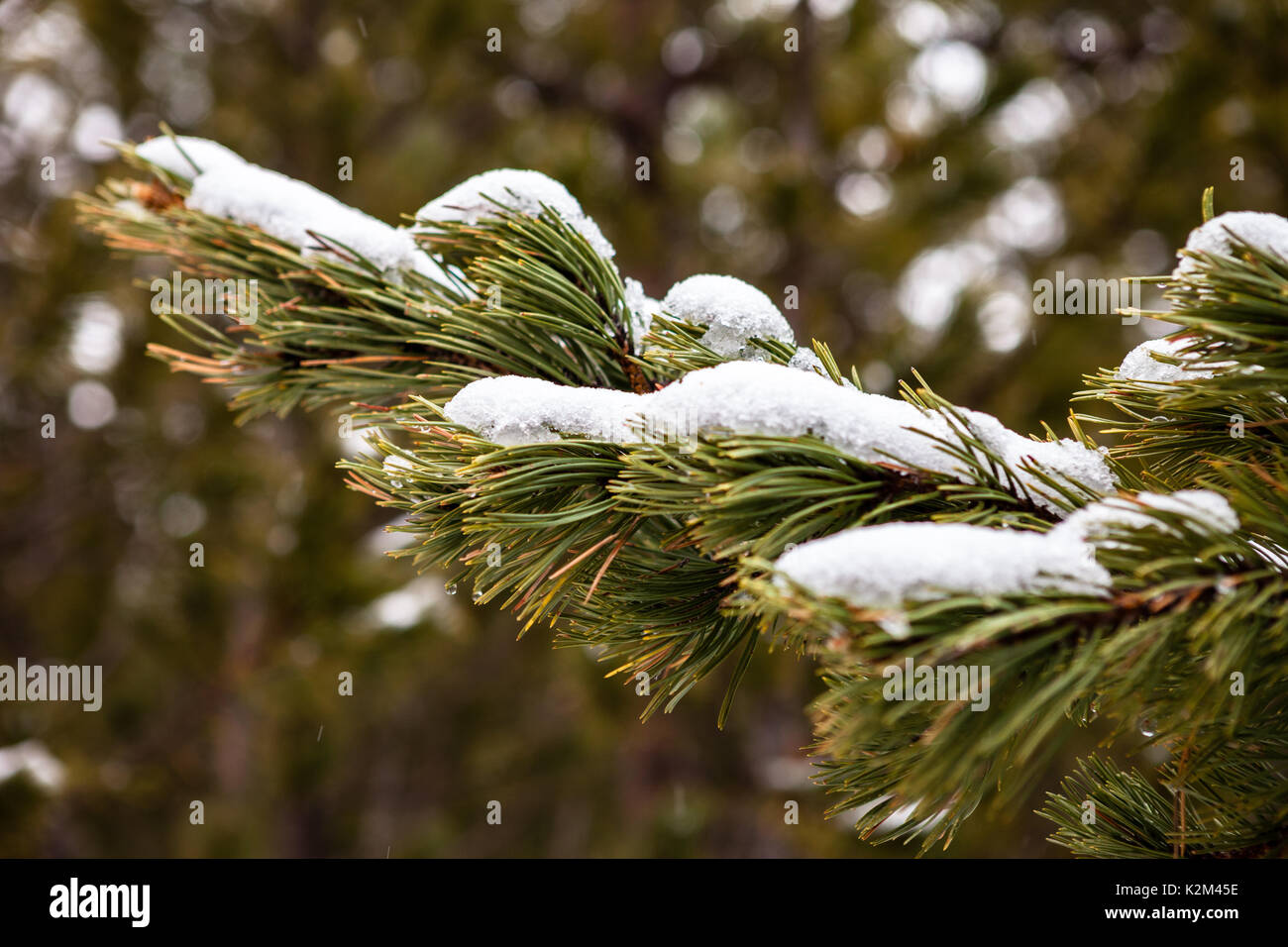 Detail of pine tree with snow - Stock Image