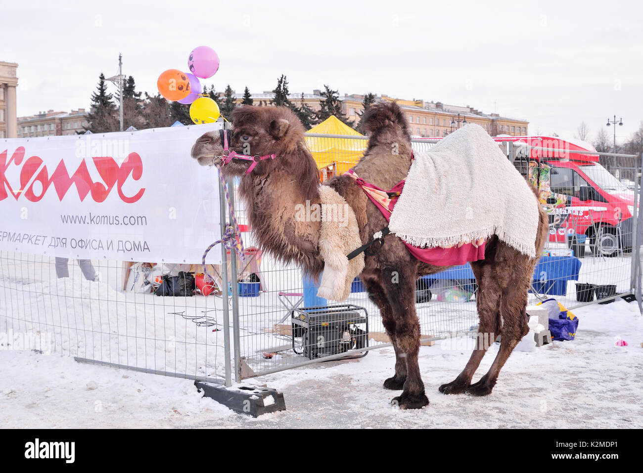 Camel is during carnival in the Moscow area - Stock Image