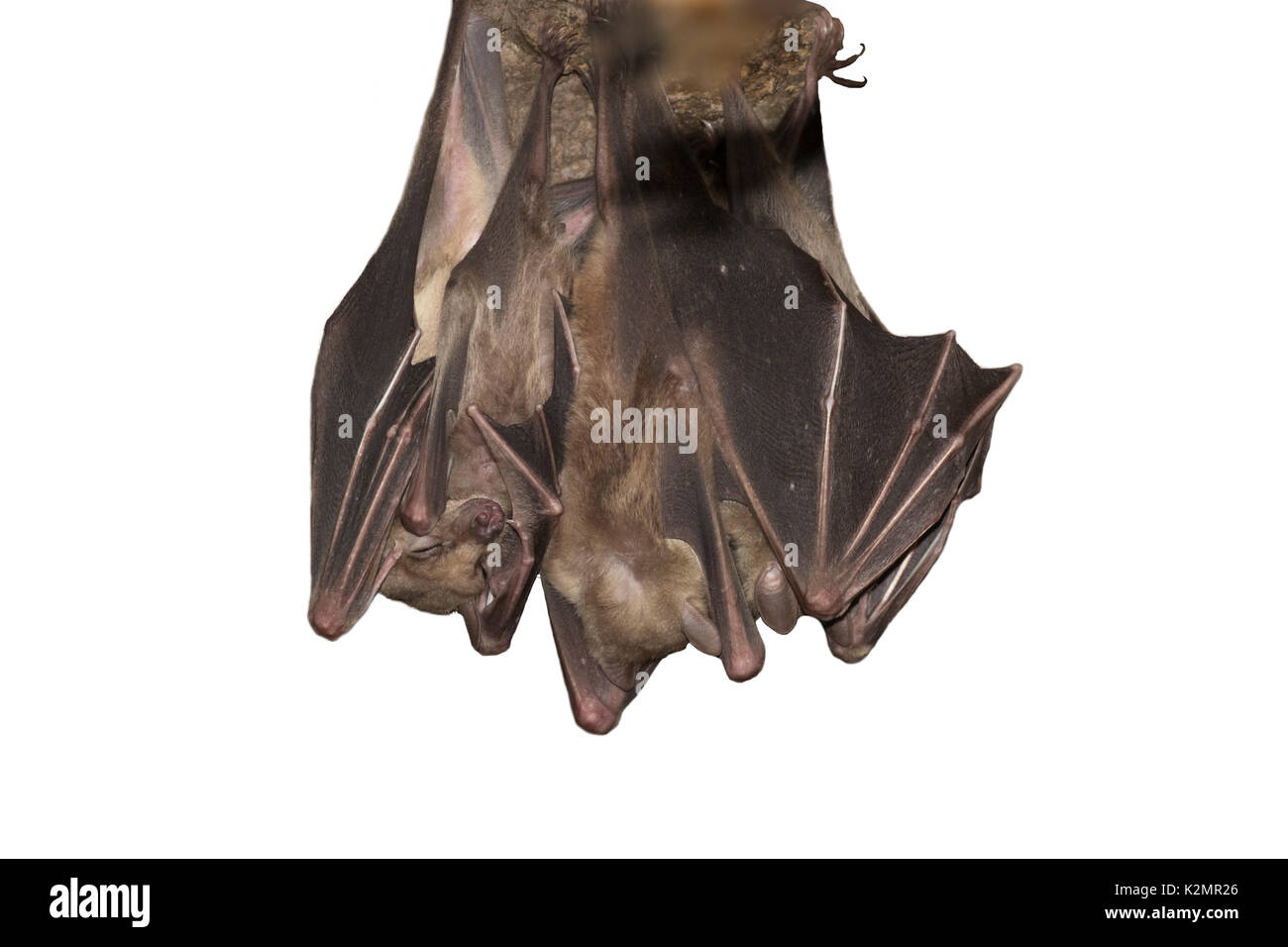 Egyptian fruit bats (Rousettus aegyptiacus) Stock Photo