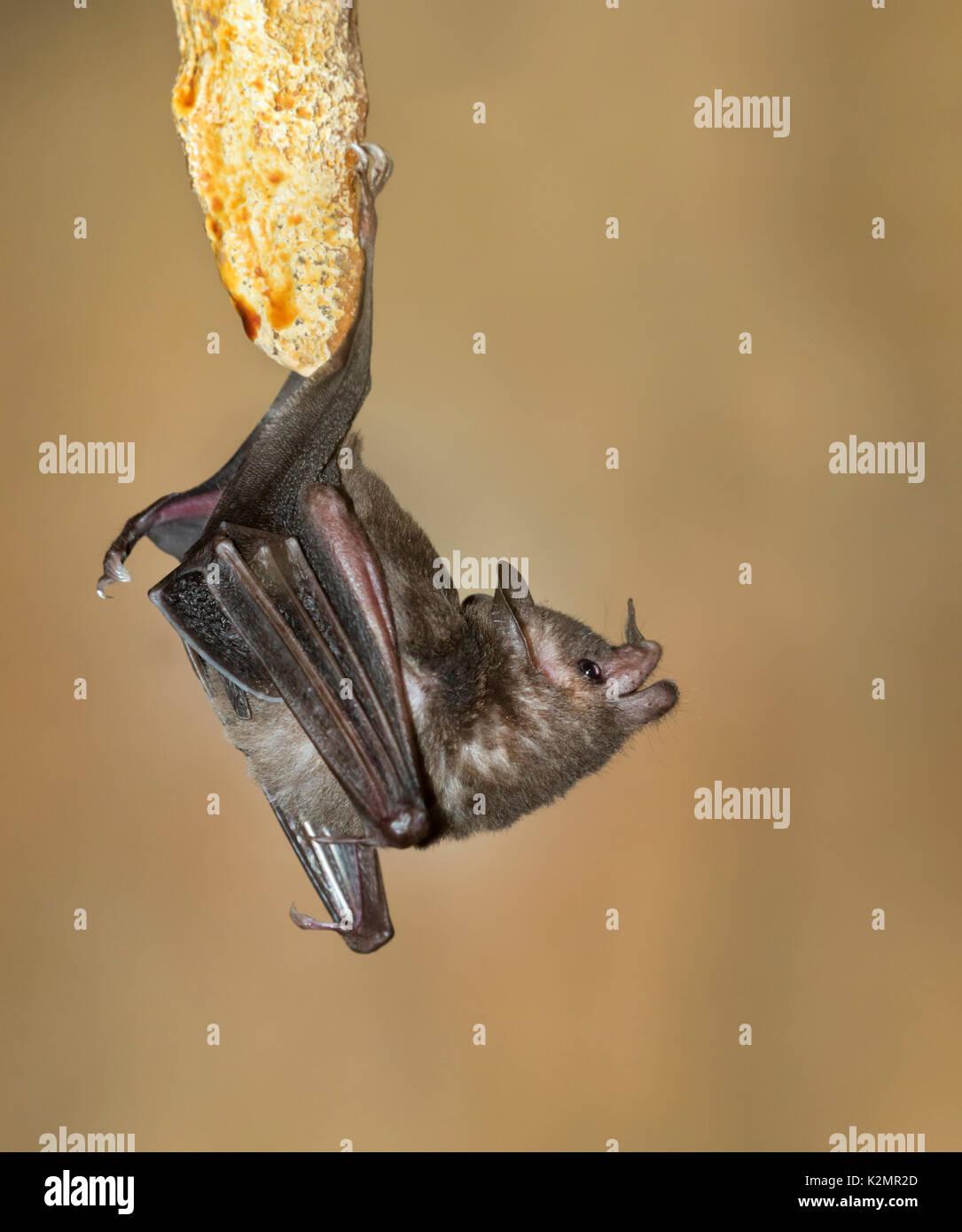 Seba's Short-tailed Bat (Carollia perspicillata) - Stock Image