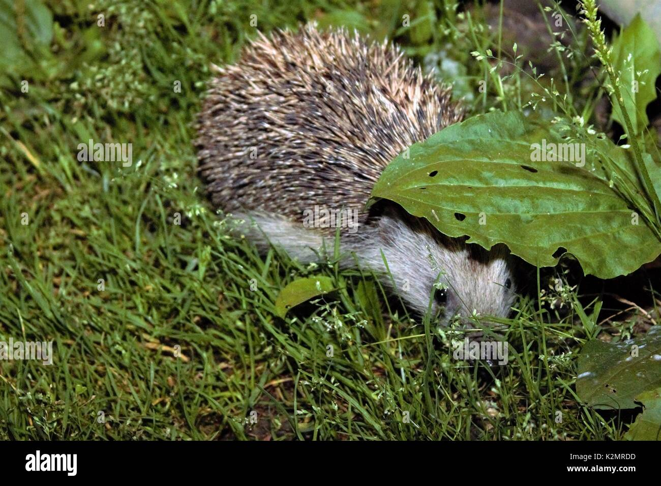 European hedgehog, green leaf - Stock Image