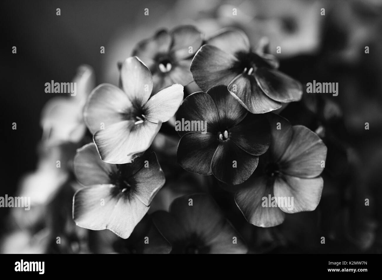Violet Black And White Stock Photos Images Alamy