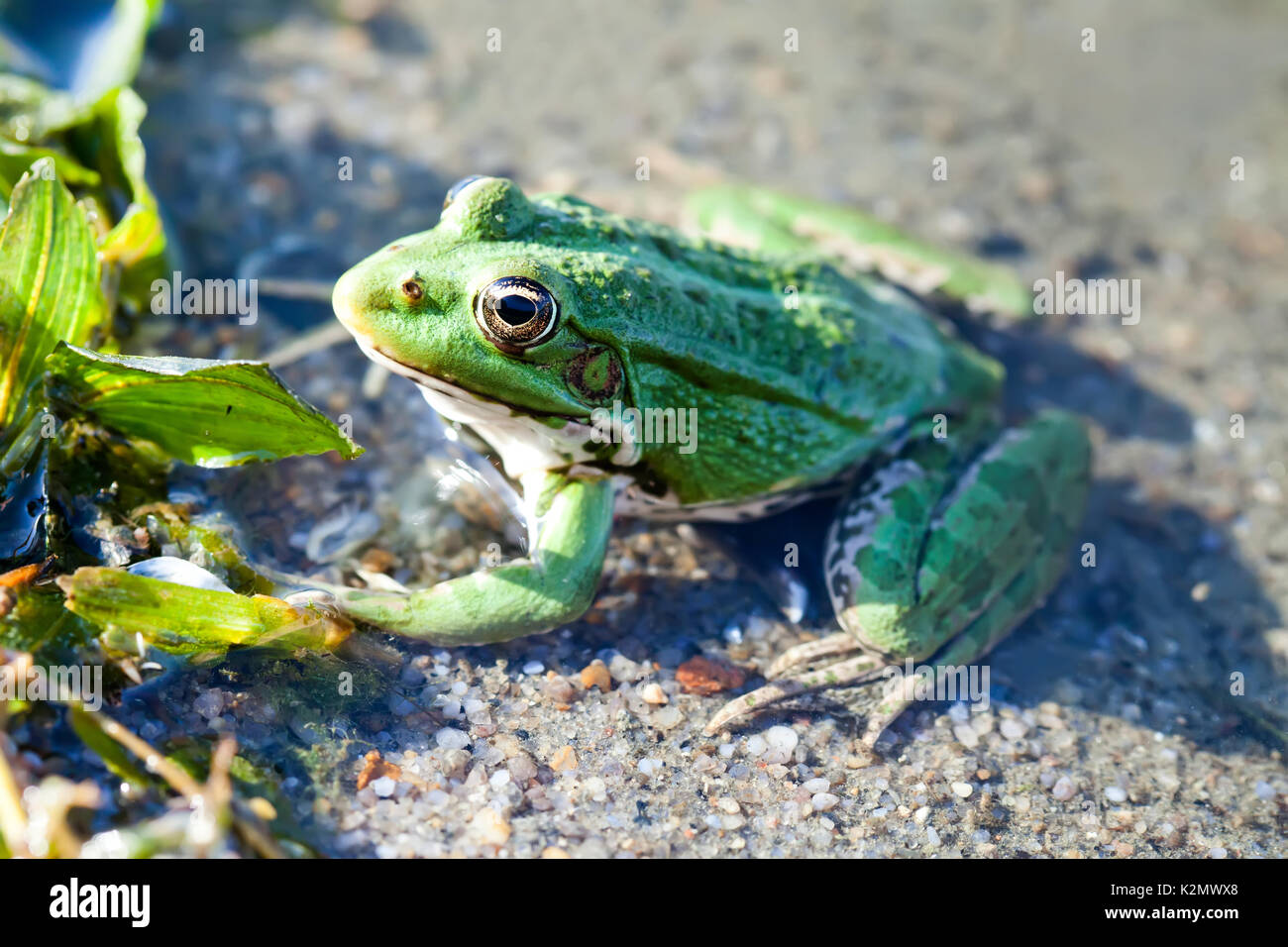 Green marsh frog natural habitat river coast background, camouflage dots amphibian Pelophylax ridibundus. Up view, selective focus, river plants background - Stock Image