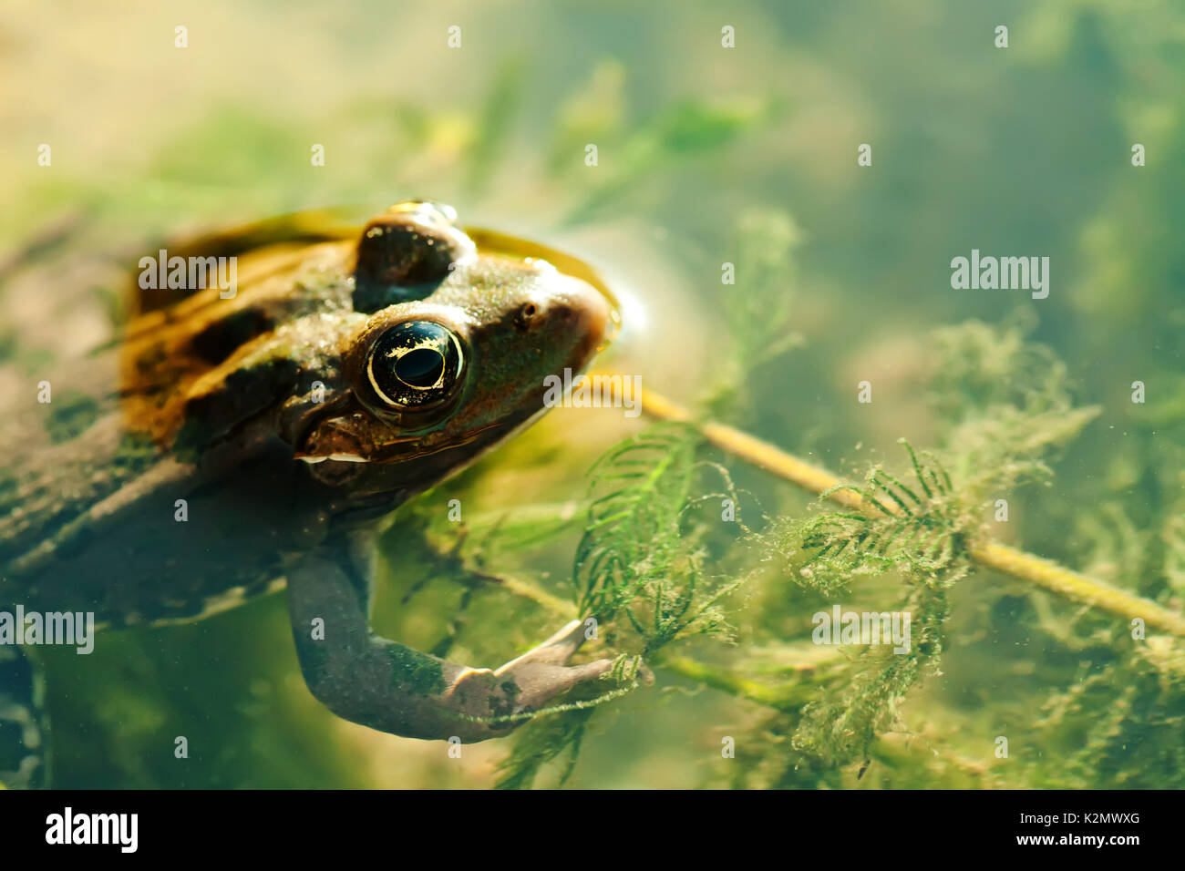 Natural habitat swimming green frog Marsh, brown camouflage amphibian Pelophylax ridibundus. Up view, selective focus, river floral background - Stock Image