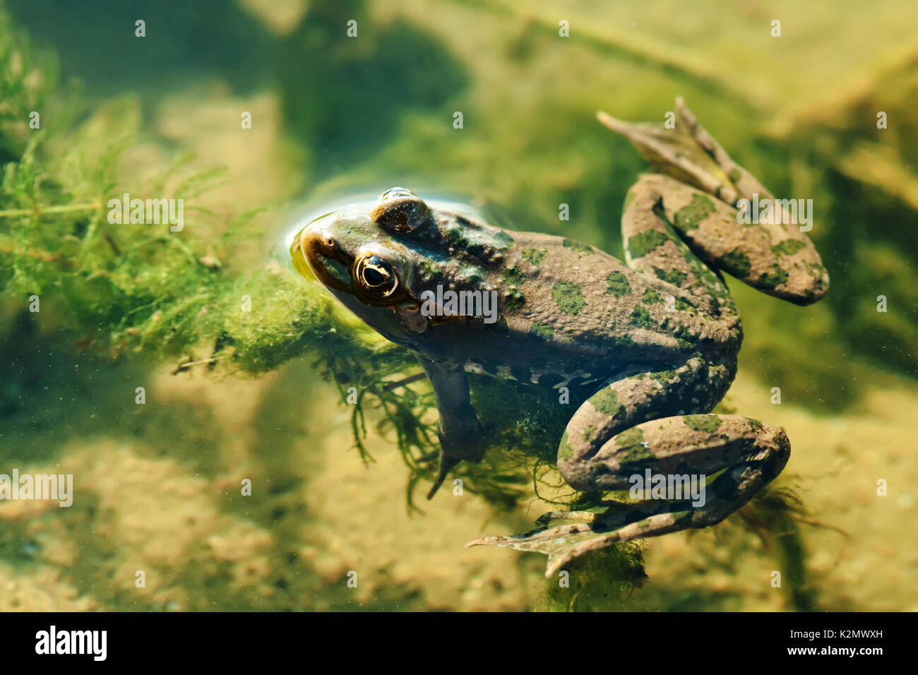 Swimming green frog Marsh natural habitat, brown camouflage amphibian Pelophylax ridibundus. Up view, selective focus, river floral background - Stock Image