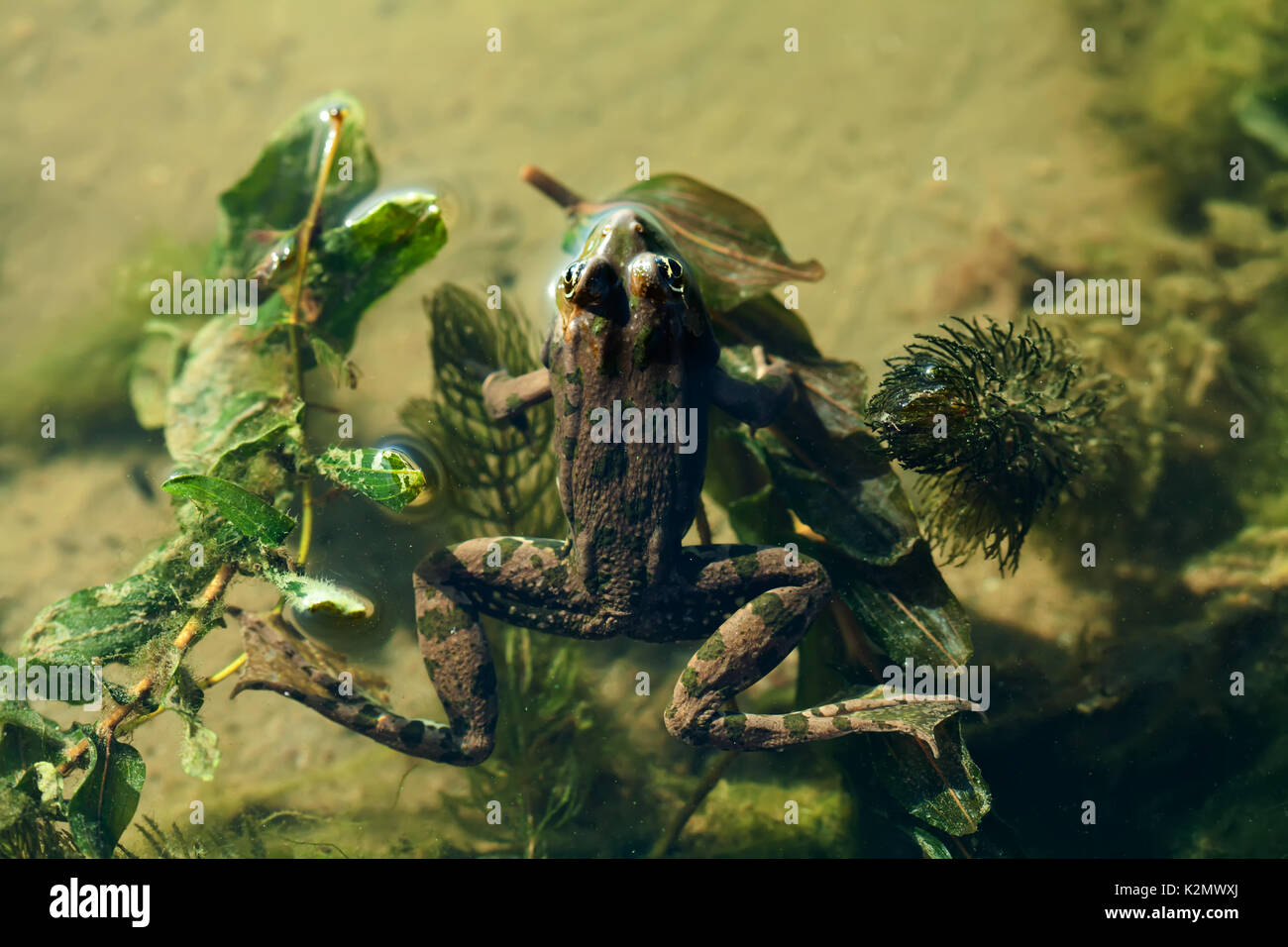 Natural habitat marsh frog green brown camouflage amphibian Pelophylax ridibundus. Up view, selective focus, river plants background - Stock Image