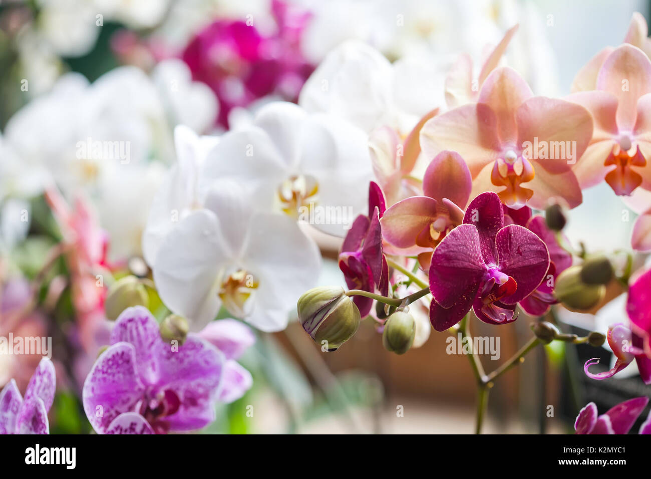 Colorful flower Orchids. Beautiful Orchidaceae Phalaenopsis pink, red, violet orchid flowers closeup. shallow depth of field - Stock Image
