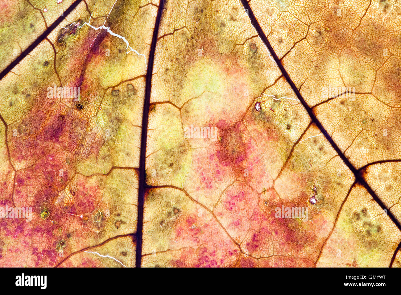 Maple leaf textured pattern macro view, vintage herbarium. Abstract background, detailed soft focus - Stock Image