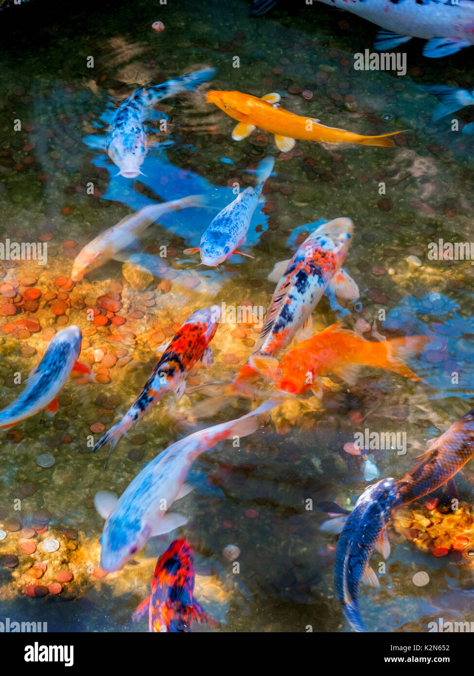 Colorful Koi, Cyprinus carpio or Common Carp, swim in a museum pond in San Marino, CA. Note coins in pond thrown to make wishes. - Stock Image