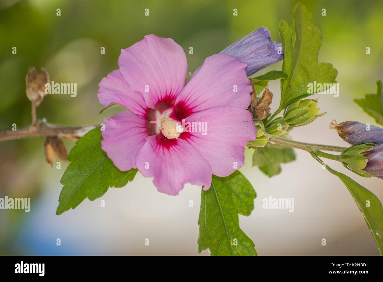 Hibiscus Flower Benefits Stock Photos Hibiscus Flower Benefits