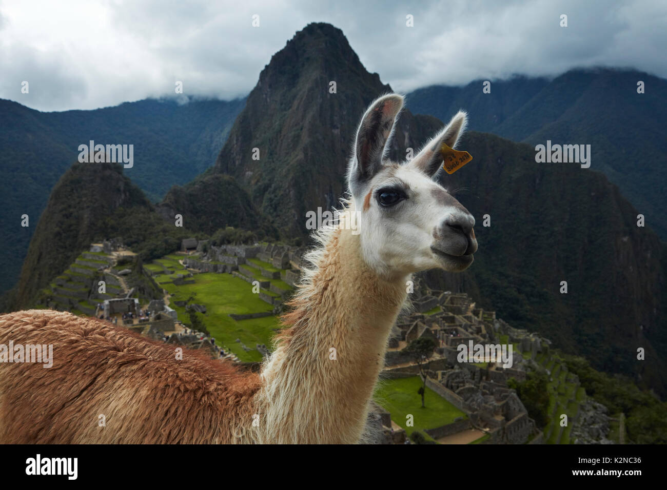 Llama at Machu Picchu Inca ruins (World Heritage Site), Sacred Valley, Peru, South America - Stock Image