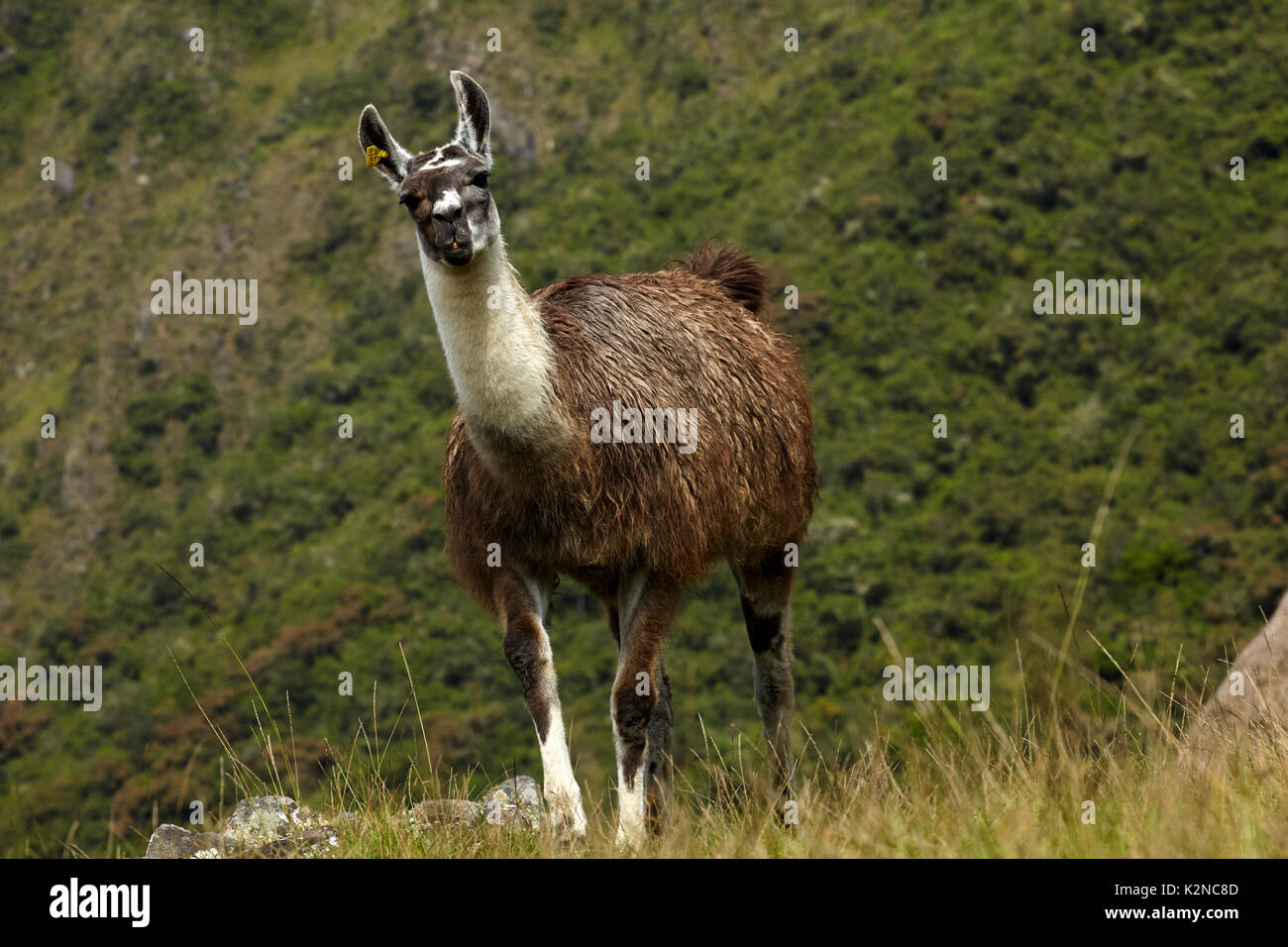 Llama at Machu Picchu (World Heritage Site), Peru, South America - Stock Image