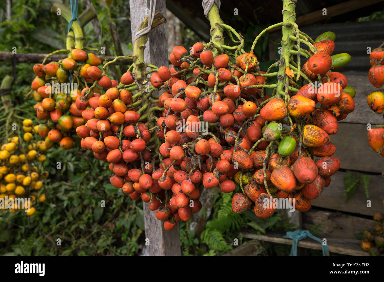 peach palm fruit clusters in Ecuadors Amazon region - Stock Image