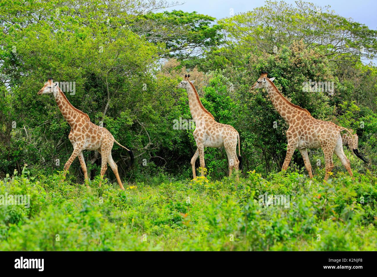 Cape giraffes (Giraffa camelopardalis giraffa), adult, group, food search, Saint Lucia Estuary, Isimangaliso Wetland Park - Stock Image