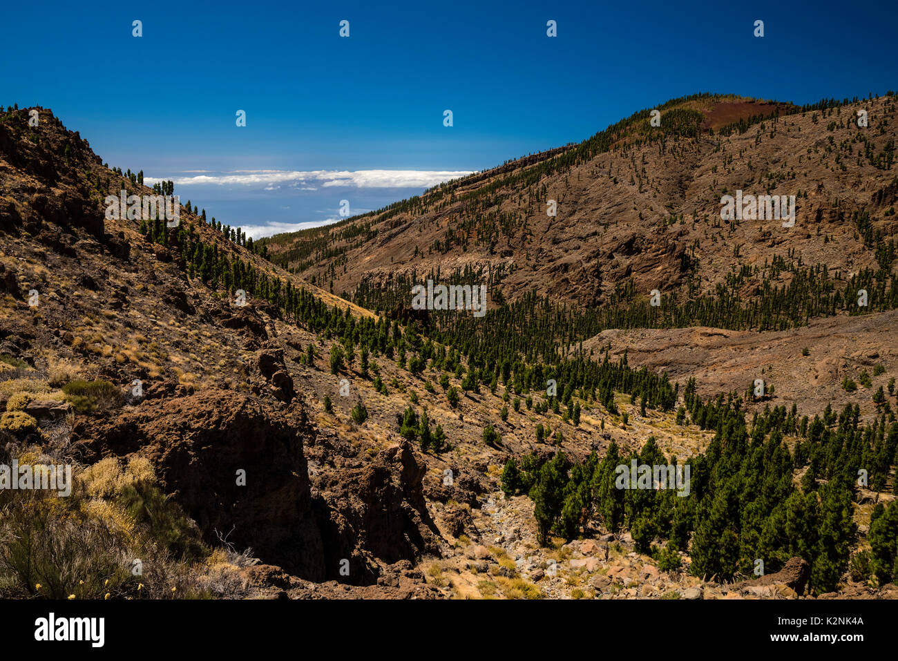 Mountain slope, overgrown with conifers, Parque Nacional del Teide, Santa Cruz de Tenerife, Tenerife, Canary Islands, Spain - Stock Image