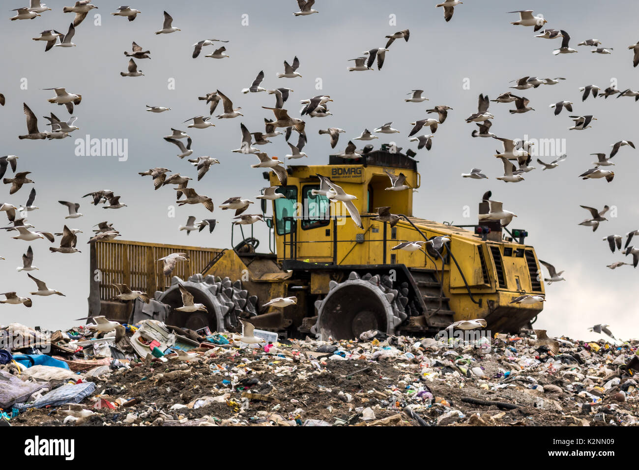 Birds searching for food mob a landfill bulldozer - Stock Image