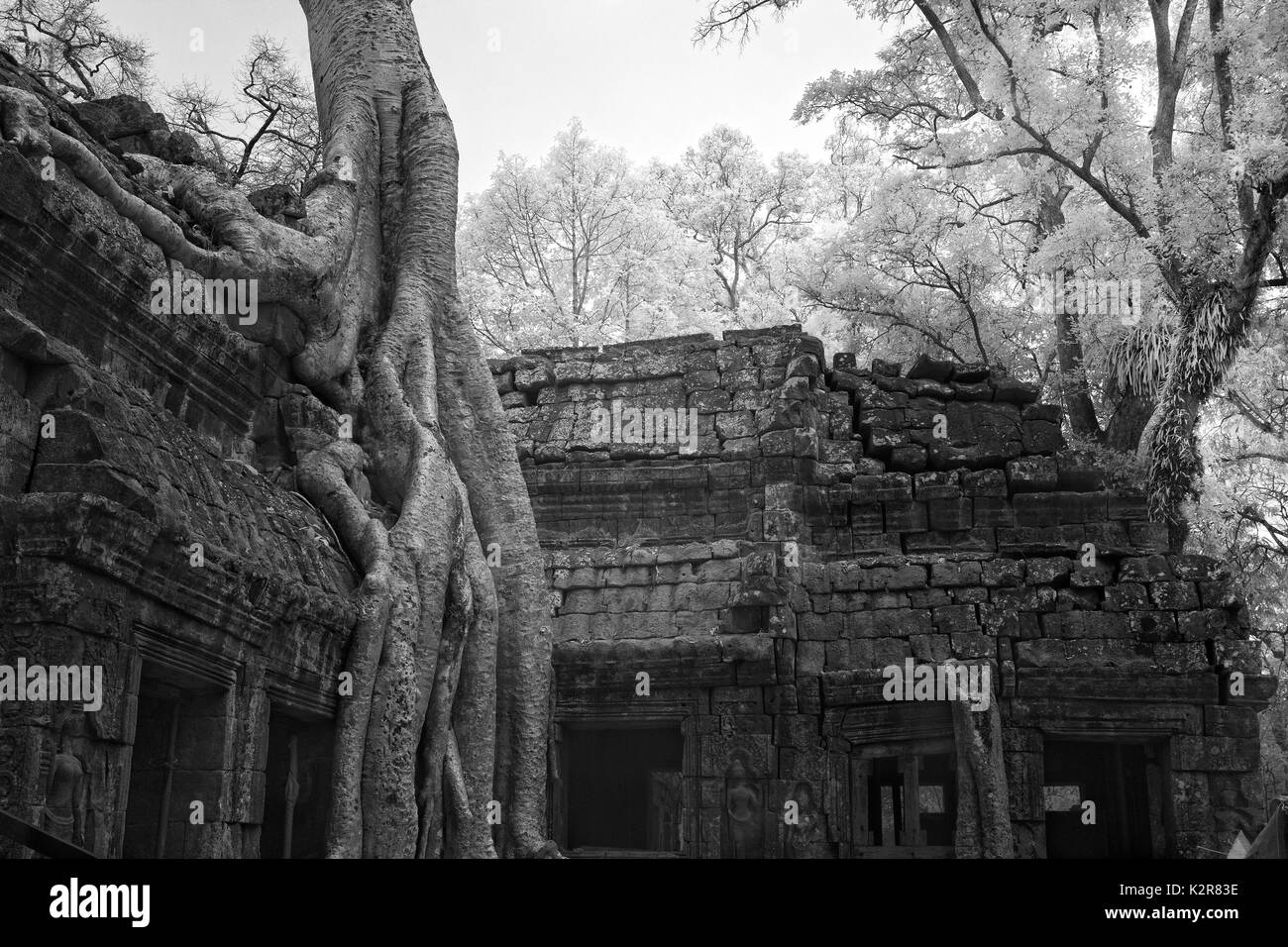 ta prohm castle amazing banyan tree roots siem reap Cambodia in black and white art - Stock Image
