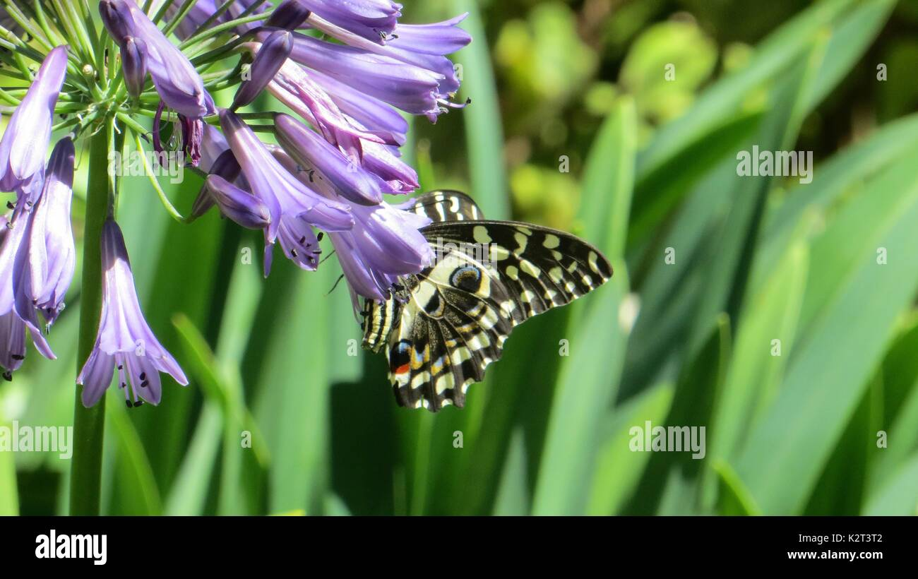butterfly on flower - Stock Image