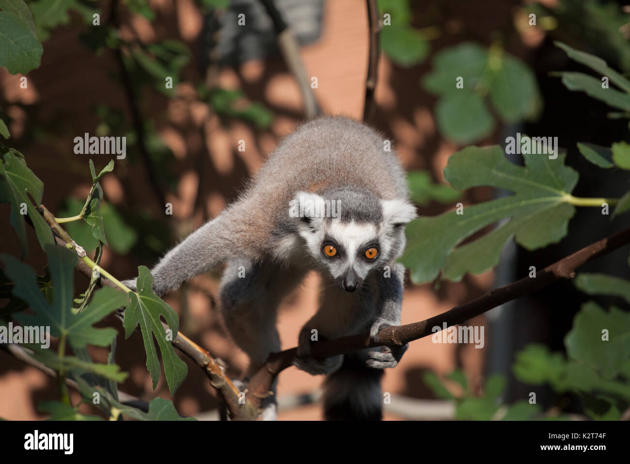 Gray with white striped ring tailed lemur in an animal park sitting on a branch - Stock Image