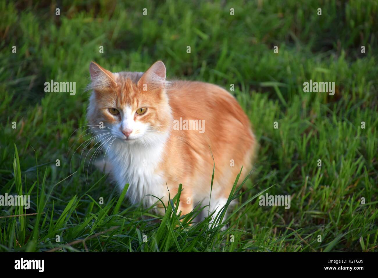 Long-haired tortoiseshell cat, orange and White Torties, Particolored Cat, Felis Catus, Felis Silvestris catus Stock Photo