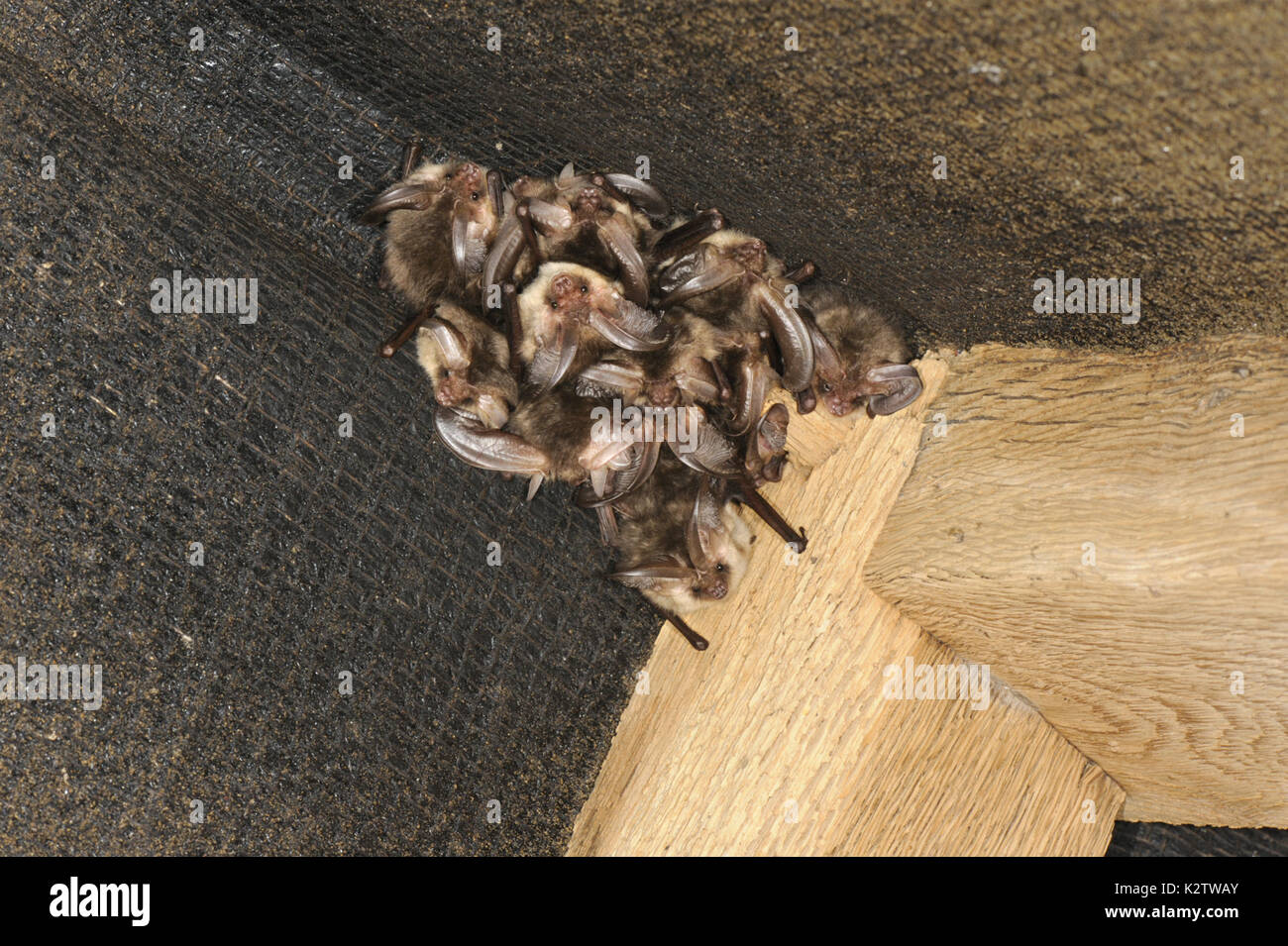 Brown Long-eared Bat - Plecotus auritus winter roost - Stock Image