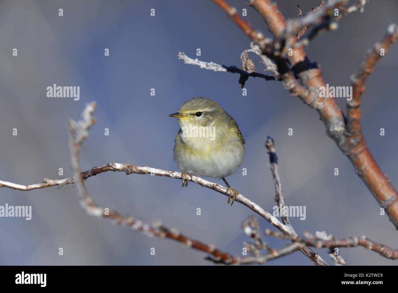 Willow Warbler - Phylloscopus trochilus - Stock Image