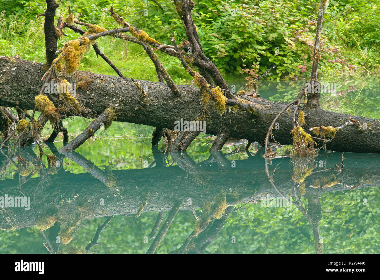 Fallen tree in the Blue Lagoon at Fish Creek, Tongass National Forest, Hyder, Alaska, USA Stock Photo