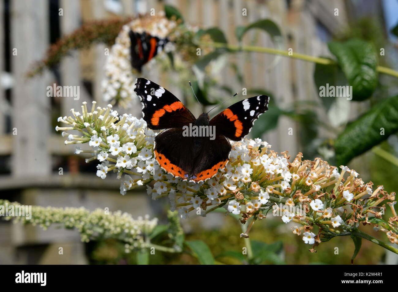 red admiral on buddleia flowers. Open wings show distinctive red white and black markings - Stock Image